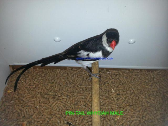 PIN-TAIL WHYDAH PAIRS WHOLESALE