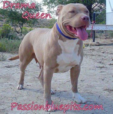 Pit Bull Christmas Puppies Xl Ukcadba Reg Wwwpassionbluepitscom