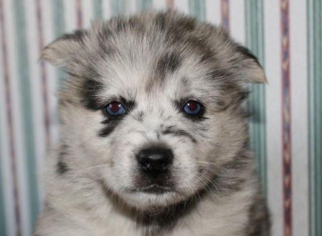 Pomsky puppies for sale/ SE Kansas (Bella) for sale in Chetopa