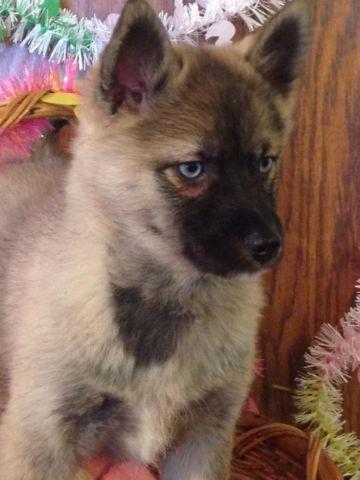 Pomsky Puppies For Sale In Minneapolis Minnesota Animals Nstuff