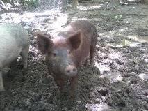 Pregnent pig for sale if not sold by wendsday may 8 going to slughter