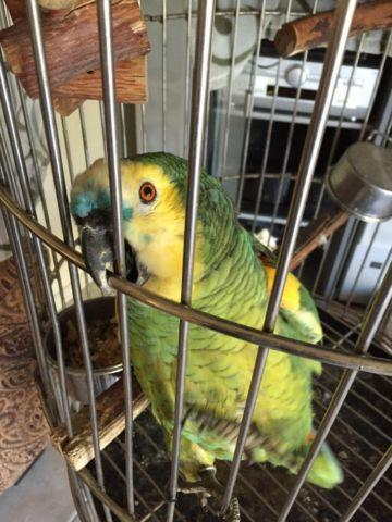 Pretty Amazon Parrot With Nice Cage