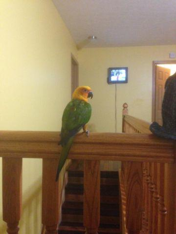 pretty Janday conure with cage