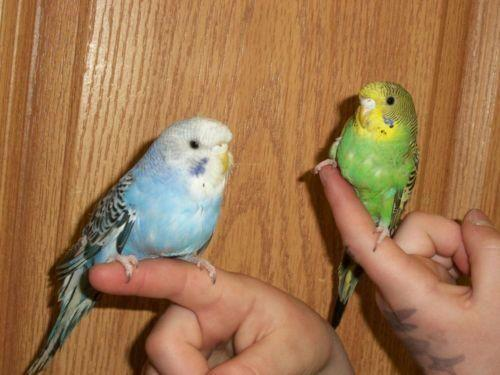 Pretty Male & Female Handfed Parakeets-Variety of Colors-Tame