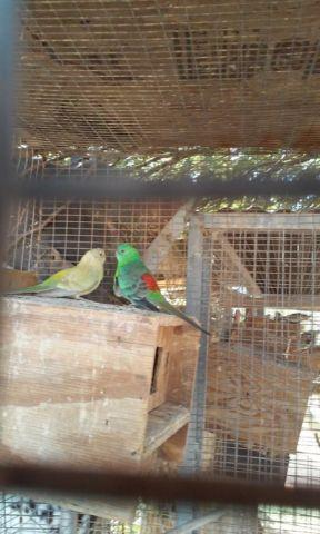 proven pair of red rump with cage