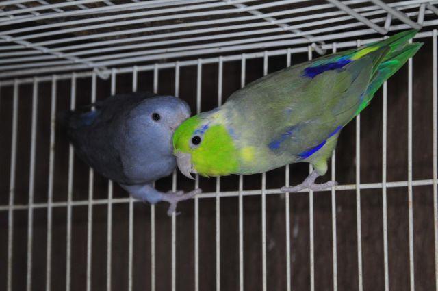 proven pair of vas eclectus parrots