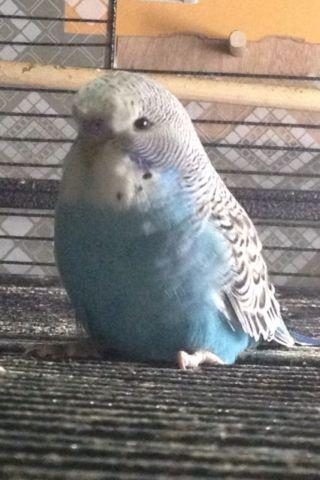 Pure English Budgies, Reducing Flock for sale in Jersey City, New