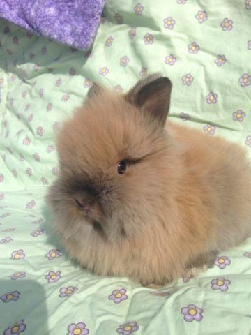 Purebred Lionhead bunny rabbits