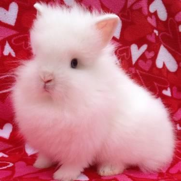 Purebred Lionhead Jr. Adult bunny rabbit white with blue eyes