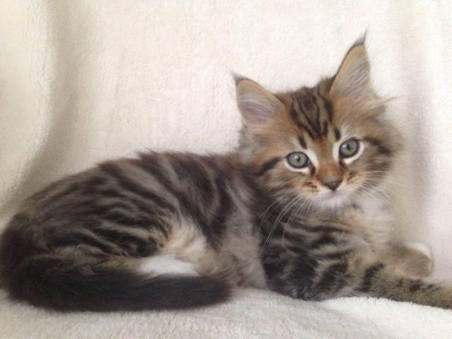 Purebred Maine Coon Kittens for sale in Fort Wayne, Indiana