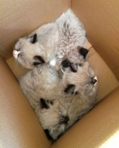 Purebred Ragdoll kittens available now! for sale in Gig