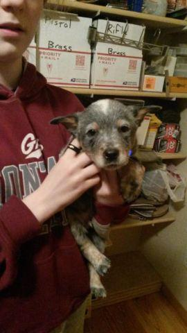 Queensland Heeler puppies for sale in Saint Regis, Montana