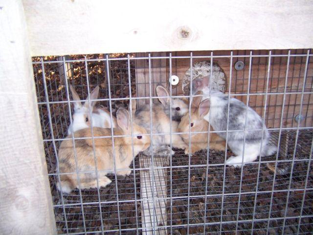 Rabbits---weaned babies and breeders