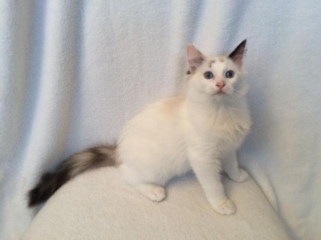 Ragdoll Kittens for sale in Brownton, Minnesota - Animals nStuff