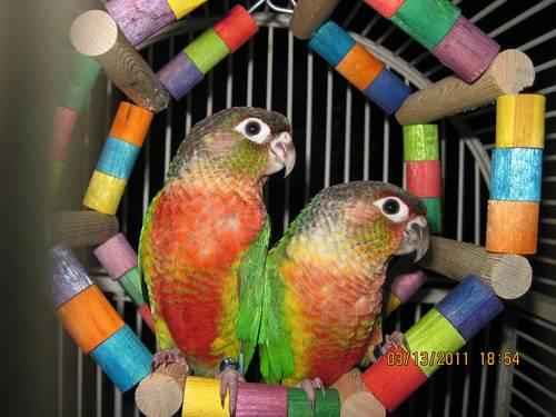Red Faced Yellowsided Greencheek Conure babies!