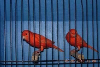 Red factor canary for sale in Tustin, California - Animals