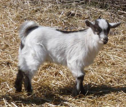 Registered Nigerian Dwarf Goats For Sale In Allegan Michigan Animals Nstuff