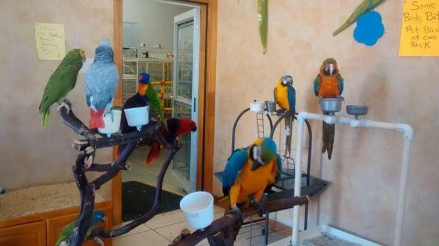 Ringneck/Psittacula - Zazu - Small - Young - Bird