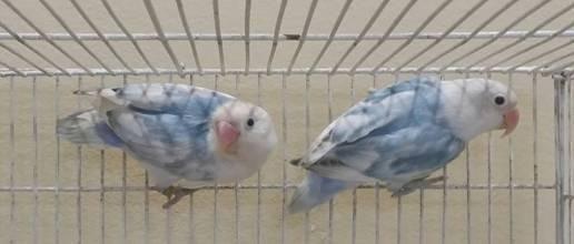 Sable Lovebirds