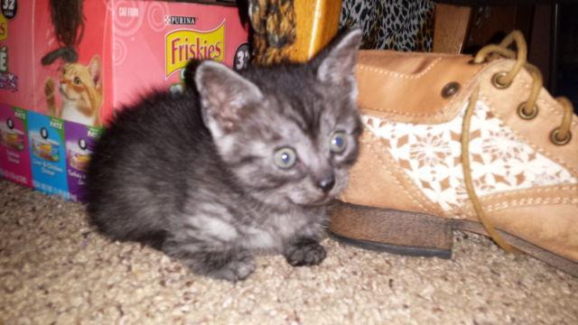 savannahkins kittens the buck weasel tuff midget cat for sale in