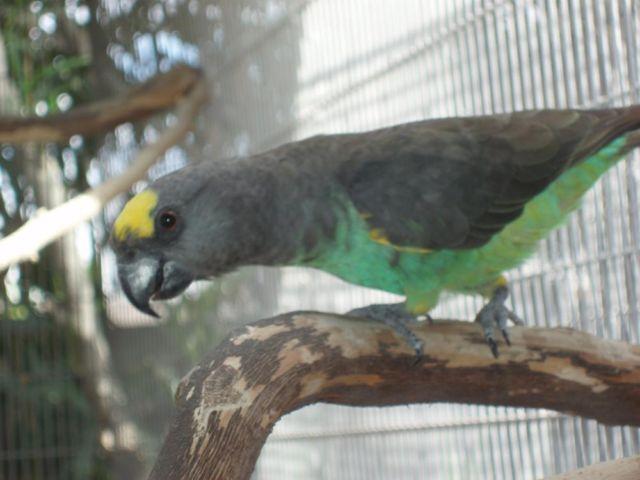 Senegal Poicephalus