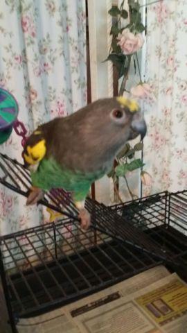 sengal parrots