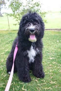 Sheepadoodle Babies Have Arrived! for sale in Yuba City, California