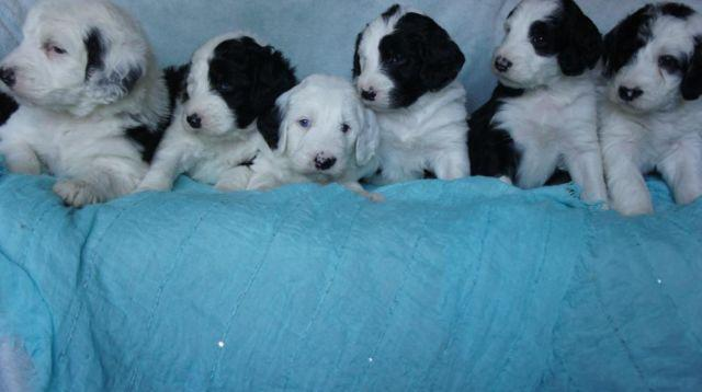 Sheepadoodle Puppies (Old English Sheepdog / Poodle) for