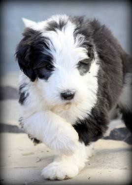 Sheepadoodle Puppies* Old English Sheepdog/Standard Poodle