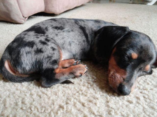 Silver dapple DACHSHUND puppy $350 for sale in Tacoma