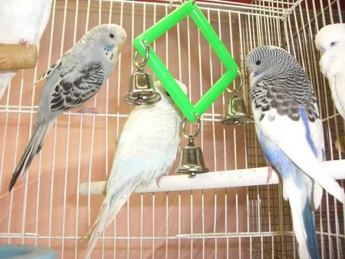 Silvernite Aviary-Handfed English Budgies-Assorted colors for sale