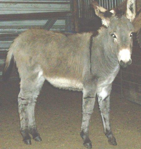 Small Standard Donkey Foal