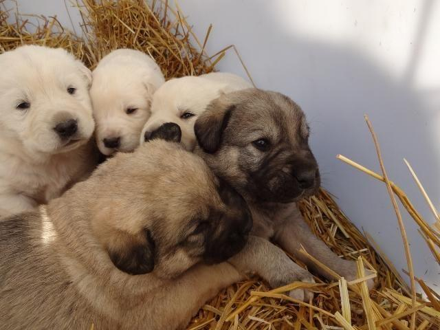Spanish Mastiffturkish Akbash Lgd Puppies For Sale In Hauser Idaho