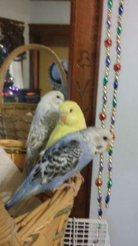 split to English parakeets (budgies)