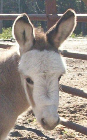 Spotted Miniature Donkey Foal
