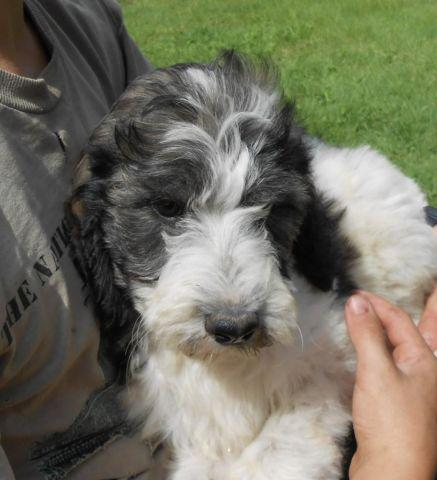 SPRINGERDOODLE PUPS AVAILABLE NOW for sale in Kent, New York