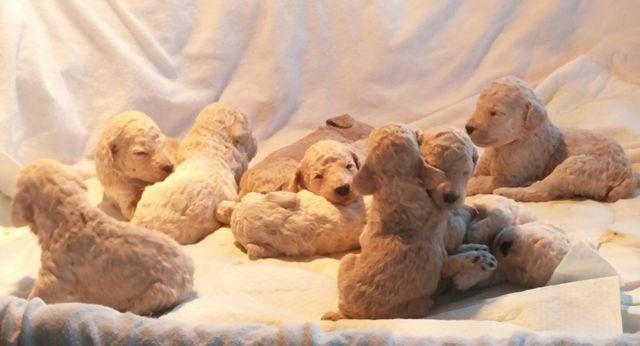 Standard Poodle Puppies for sale in Omaha, Nebraska - Animals nStuff