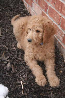 Standard Red F1B Goldendoodle Puppies - Only 2 Puppies Left