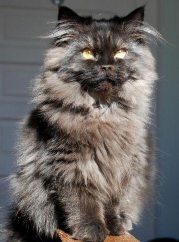 Stunning Persian & Seal Point Himalayan Kittens   One Left! for sale