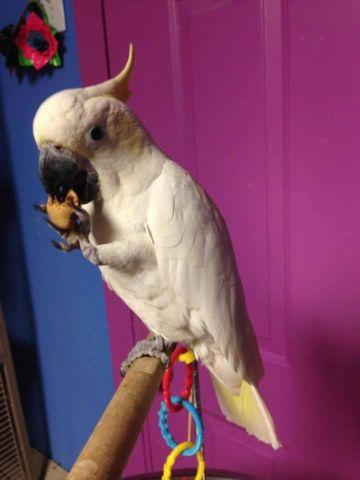 Sulphur Crested Cockatoo Baby