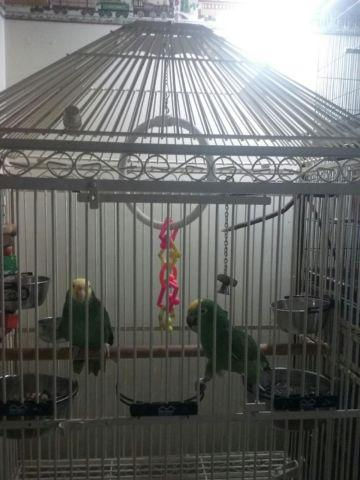 Sun Conner Parrot named Charlie.cage & toys included