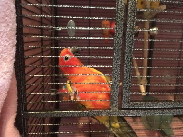 Sun conure and canary winged parrotlet for sale in Toledo, Ohio