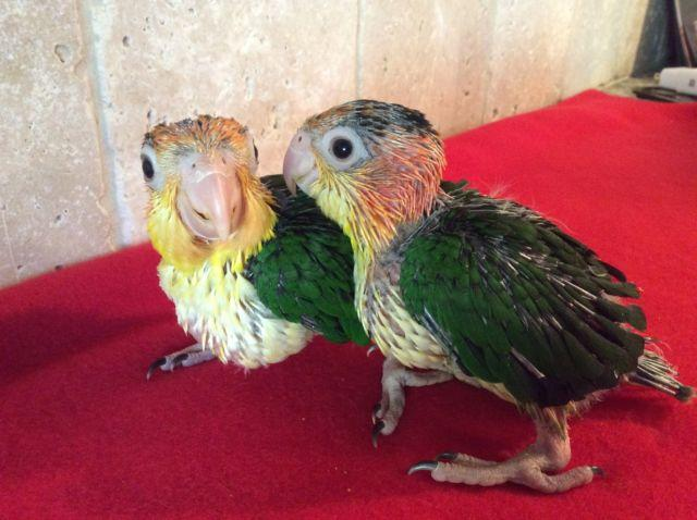 Sweet baby White Bellied Caiques