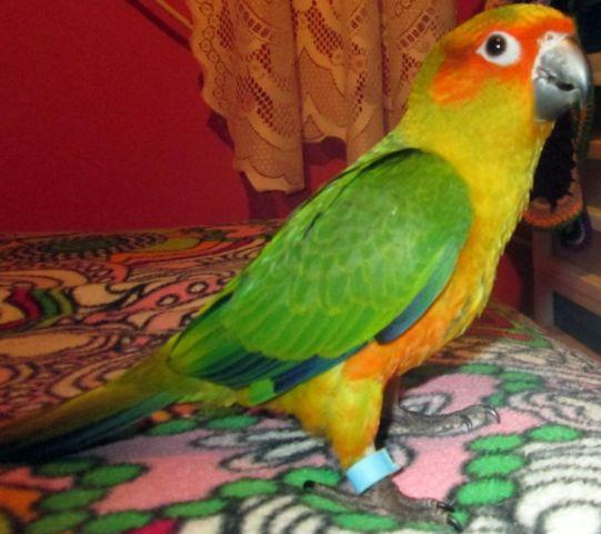 sweet hand tamed male sun conure for sale!