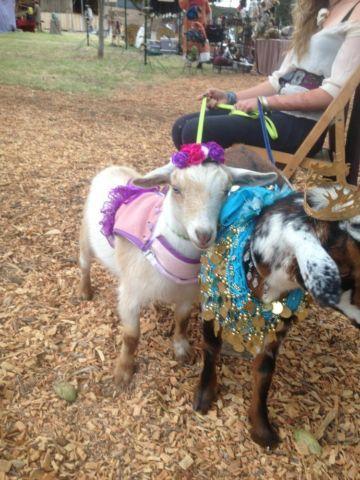 Sweet & playful dwarf goat