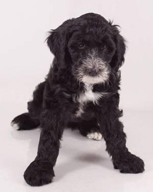 Sweet Sheepadoodle puppies for sale for sale in Corning, California
