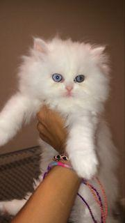 TEA CUP DOLL FACE PERSIAN KITTENS for sale in San Diego