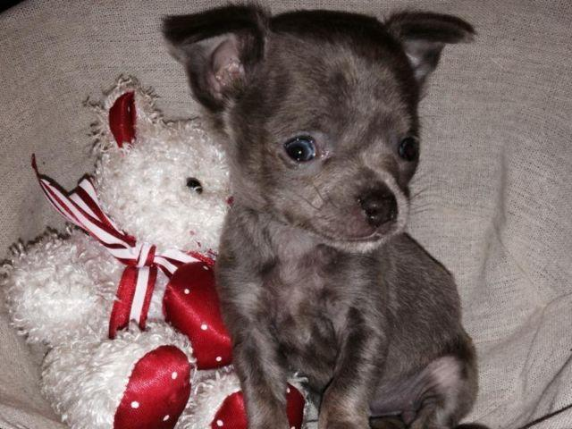 Teacup chihuahua puppy for sale for sale in Emory, South