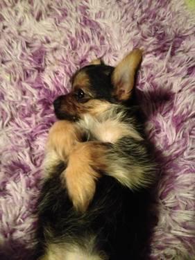 Teacup chorkie female puppy for sale in San Antonio, Texas
