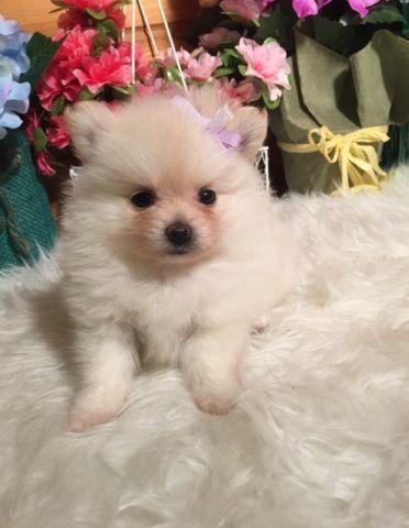 Teddy Bear Puppies for sale in Madison, Wisconsin - Animals